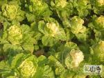 本寺僧众自己种的蔬菜之一(上传时间:2008-12-25 )